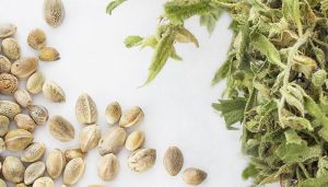how much does weed seeds cost