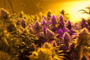 tips on growing feminized cannabis seeds