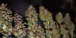 Curing Marijuana