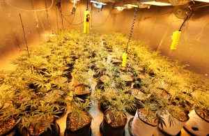 things to consider when growing regular marijuana