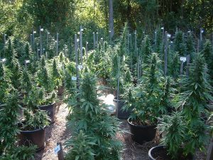 Outdoor Marijuana Growing Guide