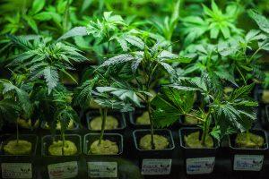 growing marijuana from seeds vs clones
